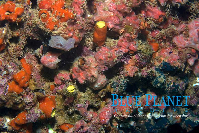 Colorful encrusting sponges, Ilha Escalvada, Guarapari, Espírito Santo, Brazil