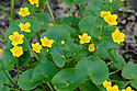 Marsh marigold (Caltha paustris), East Sussex, early May.