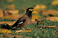 Common Myna, Acridotheres tristis, adult, Honolulu, Hawaii, USA