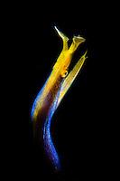 Blue Ribbon Eel snoot