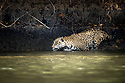Wild male Jaguar (Panthera onca palustris) entering the Piquiri River, a tributary of Cuiaba River, Northern Pantanal, Brazil.