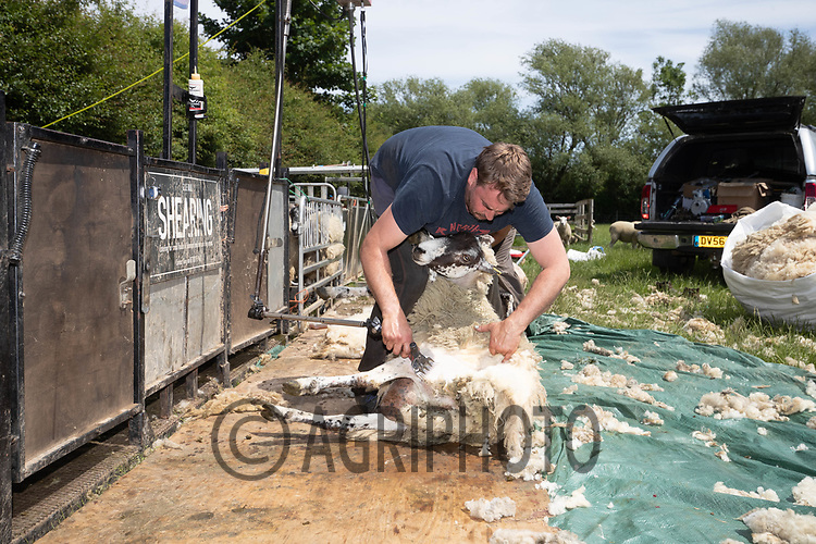 8-6-2021 Contractors shearing sheep  <br /> ©Tim Scrivener Photographer 07850 303986<br />      ....Covering Agriculture In The UK....