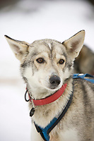 Sven Haltman's dog *Ash* readies for the *go* command at Nikolai on Wednesday during Iditarod 2008