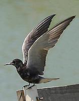 Adult black tern with wings raised