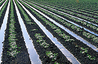 flood irrigation of young melon plants in field. water. California.