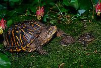 Adult ornate Box Turtle studies 2 baby 3 Toed Box Turtle on mossy garden under Columbine flowers