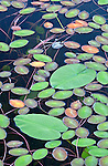 Lily pads on Long Pond in Acadia National Park, Maine, USA