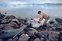 Mikile, An Inuit hunter, flensing a dead narwhal, Monodon monoceros, hunted near Qeqertat. N.W. Greenland, Arctic