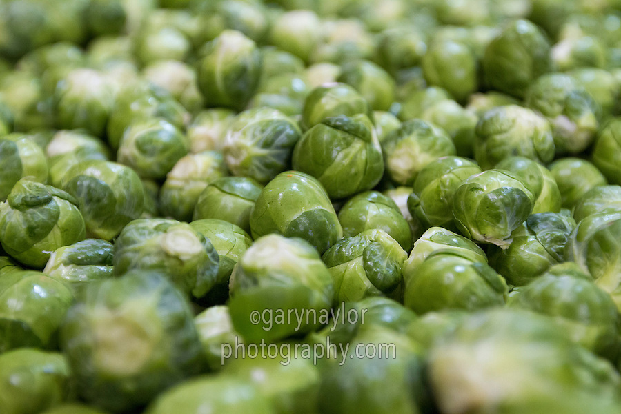 Graded brussles sprouts ready for netting - December, Lincolnshire