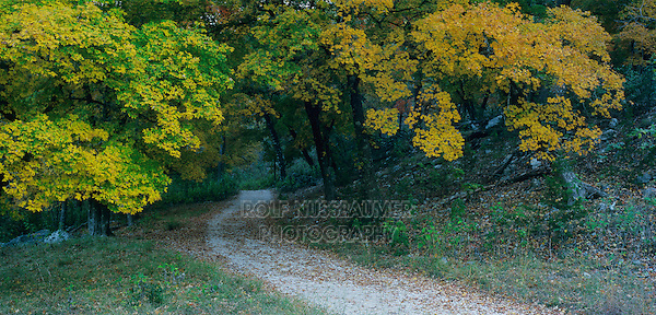 Trail and Bigtooth Maples (Acer grandidentatum) , Lost Maples State Park, Texas, USA
