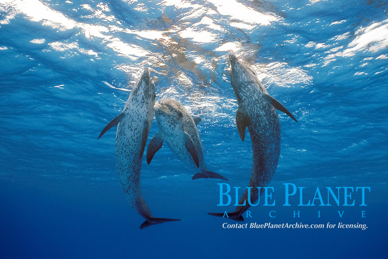 Atlantic spotted dolphins, Stenella frontalis Little Bahama Bank, Bahamas, Caribbean, W. Atlantic