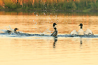 """""""Two's Company; Three's a Crowd""""<br /> Two common loons square off in the penguin dance at sunset in the Boundary Waters Canoe Area Wilderness. This behavior is typically displayed when a loon is protective of a feeding area, its young, or (in this case) its mate."""