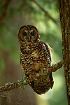 Northern Spotted Owl perched on a branch in Oregeon.
