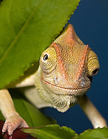 CH47-691k  Veiled Chameleon three month old young, Chamaeleo calyptratus