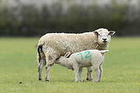 10-4-2021 Ewes and lambs <br /> ©Tim Scrivener Photographer 07850 303986<br />      ....Covering Agriculture In The UK....
