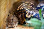 Foto: VidiPhoto<br /> <br /> VLISSINGEN – In reptielenzoo Iguana leven de meest wonderlijk reptielen en amfibieën. De meeste zijn door de douane of bij particulieren in beslag genomen. De Vlissingse reptielenopvang probeert waar mogelijk de dieren te herplaatsen in dierentuinen of weer terug te zetten in de natuur. Waar dat niet mogelijk is zorgt Iguana zelf voor opvang en zijn de dieren voor bezoekers te zien. Foto: Malayopython reticulata - net python.