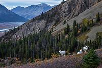 Dall sheep or Thinhorn sheep rams (Ovis dalli) on hillside overlooking Ä'äy Chù (Slim's River) Valley, Kluane National Park and Reserve, Yukon Territory. Sept.