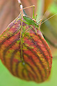 Speckled bush cricket (Leptophyes punctatissima) on leaf of flowering dogwood (Cornus florida), mid September.
