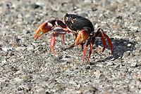 Cuba, Wanderung der roten Land-Krabbe bei Santiago