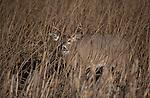 Whitetail buck  in marsh grass in Montana