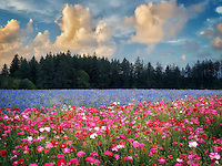 Field of poppies and bachelor buttons. Near Silverton, Oregon