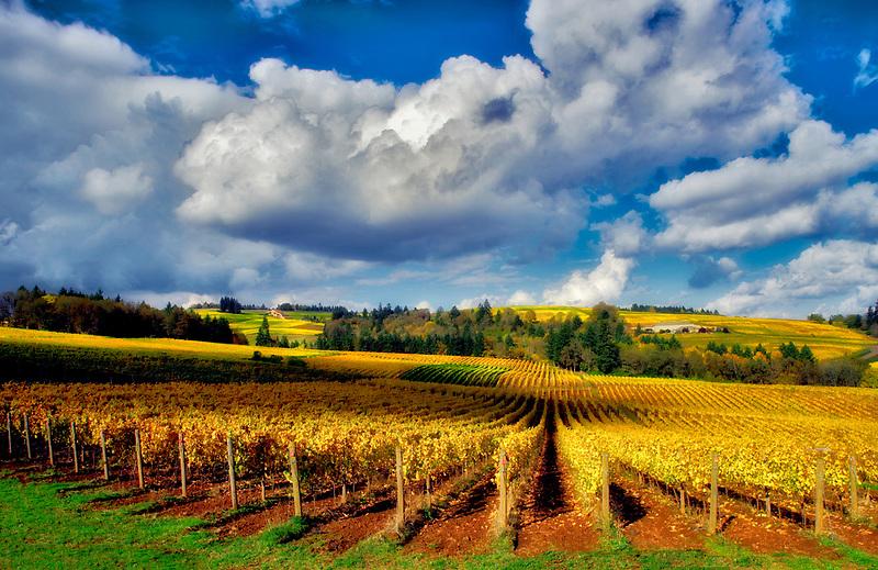 Fall colored grapes and cumulous clouds. Sokol Blosser Vineyards. Oregon