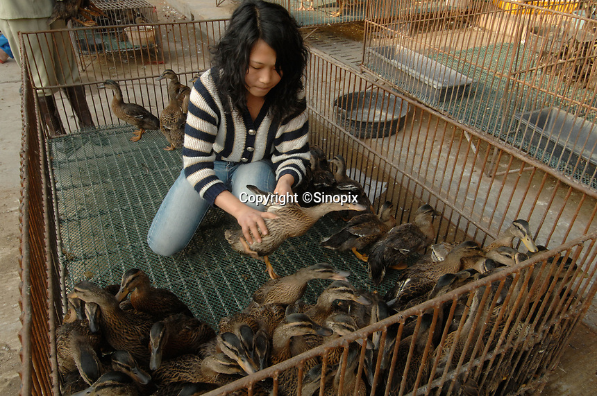 """Ducks are sorted out at a bird and poultry marker in Guangzhou, China .in this file photo. China's wild animal markets, where live wild animals and reared animals are sold are the source of many viruses that mutate as they """"jump"""" from animals to humans. The coronavirus COVID-19 is thought to have originated in an animal market in China. <br /> By Sinopix Photo Agency"""