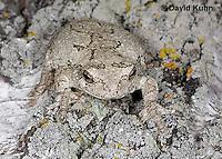 0202-0910  Eastern Gray Treefrog on White Bark (Grey Tree Frog), Hyla versicolor  © David Kuhn/Dwight Kuhn Photography