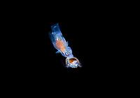 a Sea Angel, Order Gymnosomata de Blainville, 1824, attacks a Sea Butterfly, Pteropod mollusk, during a Blackwater drift dive in open ocean at 20-40 feet with bottom at 600 plus feet below.  Palm Beach, Florida, U.S.A.  Atlantic Ocean