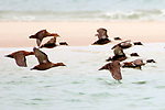 Common eiders flying right, medium shot, South beach, Chatham, Massachusetts