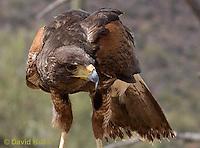 0405-1212  Harris's Hawk, Harris Hawk (Bay-winged Hawk or Dusky Hawk), Parabuteo unicinctus  © David Kuhn/Dwight Kuhn Photography