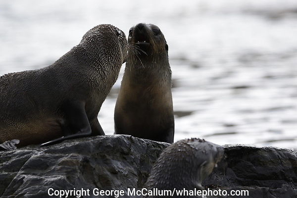 Antarctic Fur seal, Arctocephalus gazella , pups in water at beach, Grytviken whaling station South Orkney Islands, Scotia sea Southern Ocean, Antarctica