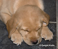 SH38-538z Lab Puppies - Genetic variation Yellow, 6 weeks old..