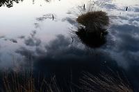 GERMANY, lower saxonia, Pietz moor, Tussock of purple moor grass mirrored in water of moorland pond / DEUTSCHLAND, Niedersachsen, Schneverdingen, Wald und Moor, Pietzmoor, Moorgrass, Molinia caerulea