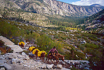 Cowboy leading a string of pack mules on the west side of the High Sierra, a view of the Big Arroyo, Sequoia National Park, California