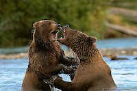 Two subadult wrestling for dominance over their fishing territory in a stream along the Alaska Peninsula in Katmai National Park.