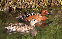 A male and female Cinnamon teal pair, photographed at Market Lake.