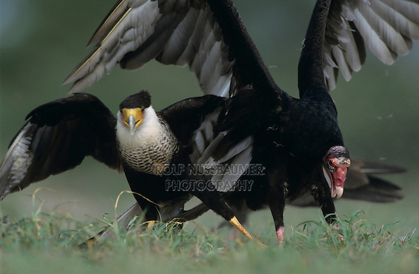 Turkey Vulture, Cathartes aura , adult fighting with Crested Caracara for food, Starr County, Rio Grande Valley, Texas, USA, May 2002