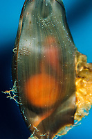 egg case of whitespotted bamboo shark, Chiloscyllium plagiosum, with embryo and yolk sac inside, captive