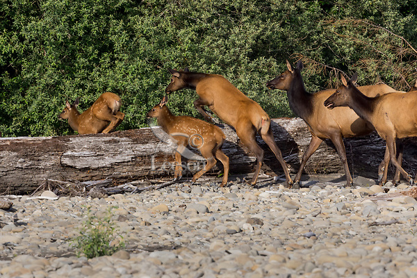 Elk cows and calves (Cervus canadensis roosevelti) jumping log which has been washed down the river during a flood on river rock bar.  Pacific Northwest, summer.