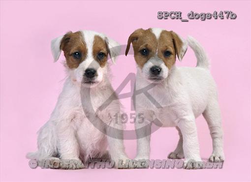 Xavier, ANIMALS, dogs, photos(SPCHdogs447b,#A#) Hunde, perros