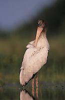 Wood Duck, Aix sponsa,male calling, New Braunfels, Texas, USA, March 2001
