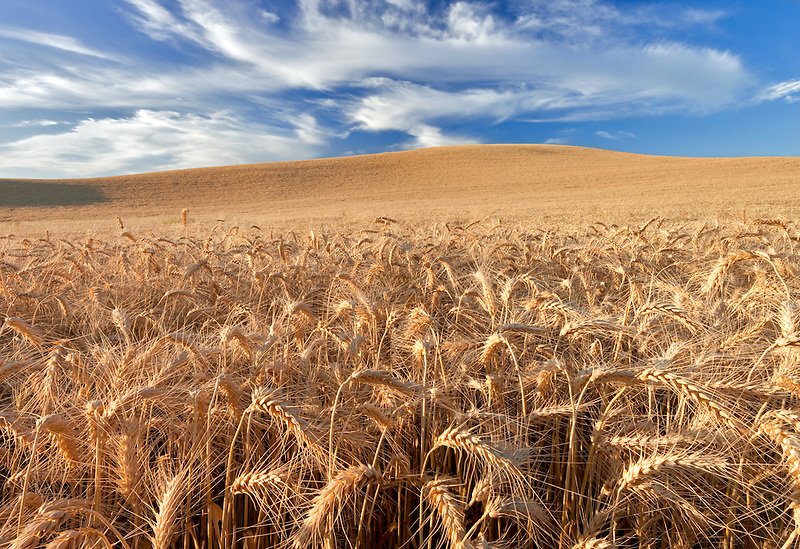 Wheat field with clouds and evening light. The Palouse, Washington