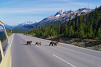 Grizzly bear sow with cubs crossing Icefields Highway between Banff and Jasper, Alberta.  Banff National Park.  June.