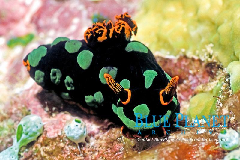 Nudibranch, Nembrotha kubaryana, Solomon Islands
