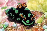Nudibranch, Nembrotha kubaryana, Solomon Islands