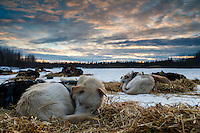 A Linwood Fiedler dog sleeps at sunset at the Nikolai checkpoint during Iditarod 2016.  Alaska.  March 08, 2016.  <br /> <br /> Photo by Jeff Schultz (C) 2016 ALL RIGHTS RESERVED