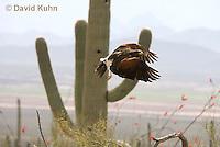 0405-1205  Harris's Hawk in Flight, Harris Hawk (Bay-winged Hawk or Dusky Hawk), Parabuteo unicinctus  © David Kuhn/Dwight Kuhn Photography