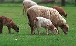 """Sheep graze, Domestic sheep in Oregon field, sheep, Ovis aries, quadrupedal, ruminant, mammals, livestock, Agriculture, fleece, lamb, mutton, shearing, pelts, milk, rams, ewes, herding dogs, seasonal breeders, lamb, Fine art Photography and Stock Photography by Ronald T. Bennett Photography ©, FINE ART and STOCK PHOTOGRAPHY FOR SALE, CLICK ON  """"ADD TO CART"""" FOR PRICING."""
