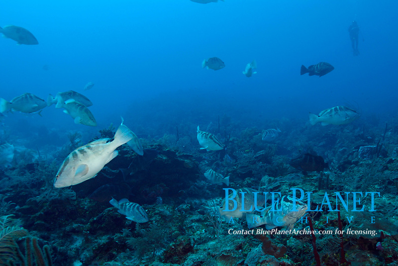 Belize Audubon Society biologist Kirah Forman counts fish in spawning aggregation of Nassau groupers, Epinephelus striatus (Endangered Species), Lighthouse Reef, Atoll, Belize, Central America (Caribbean Sea)